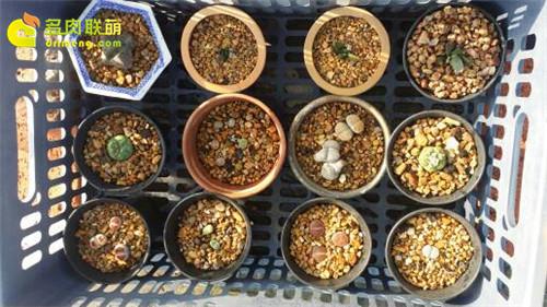 辽宁锦州楼顶养的一些仙人球、生石花-2