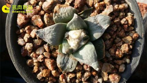 辽宁锦州楼顶养的一些仙人球、生石花-4