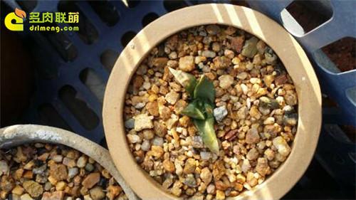 辽宁锦州楼顶养的一些仙人球、生石花-7