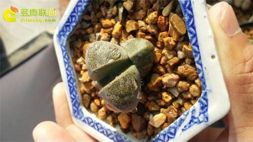 辽宁锦州楼顶养的一些仙人球、生石花-8