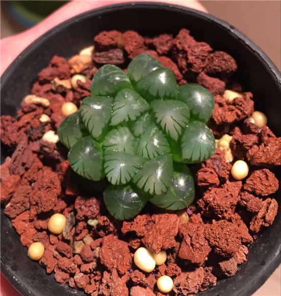 云南春天时的多肉植物-30
