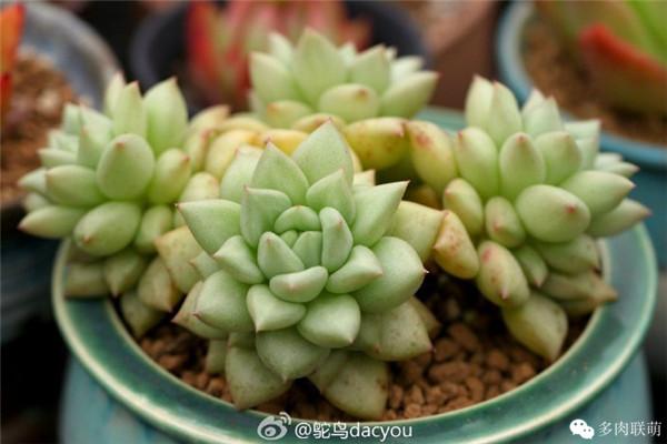 上色的玉珠东云 多肉植物