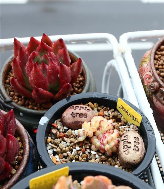 秋天的多肉植物-17
