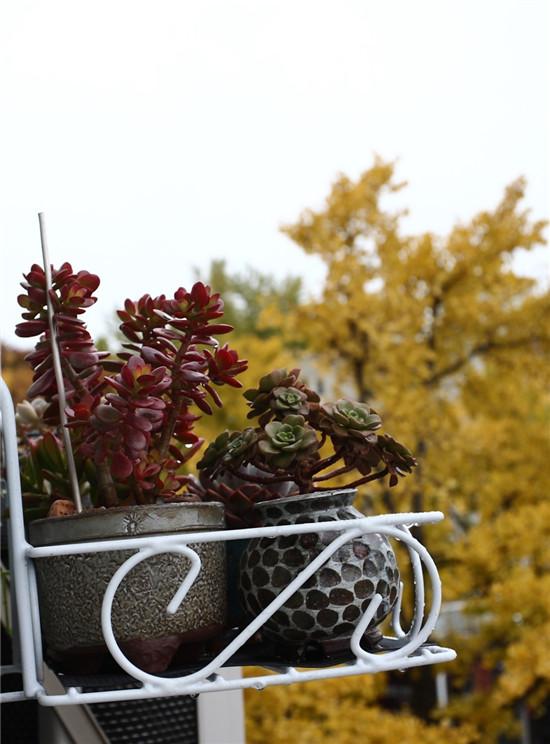 秋天的多肉植物-7