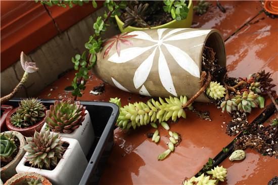 台风来了,多肉植物怎么办-6