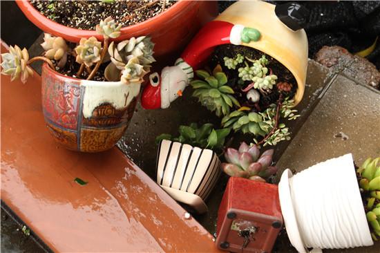台风来了,多肉植物怎么办-9