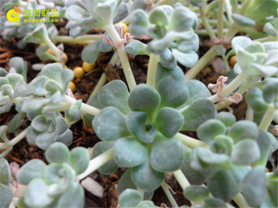白霜 多肉植物-1