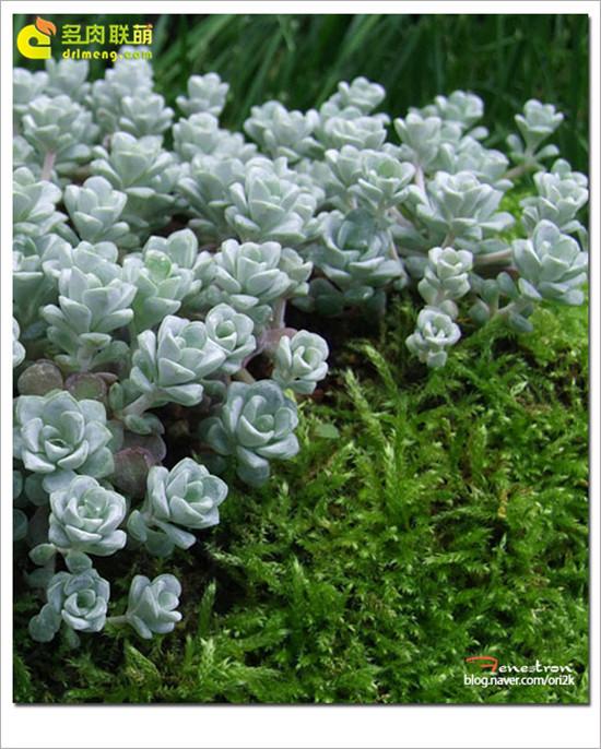 白霜 多肉植物-6