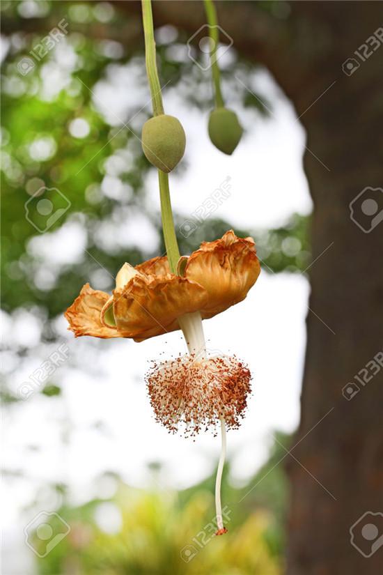 猴面包树的结果过程-3