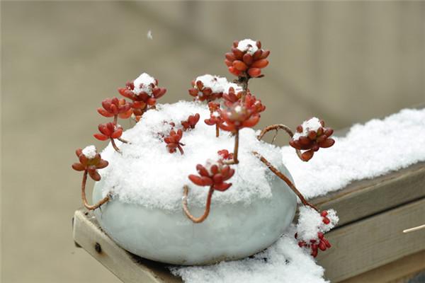 2016雪中的多肉-3