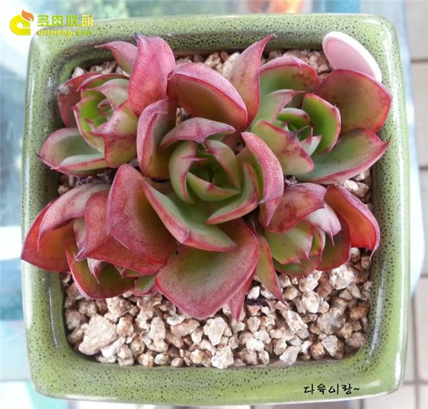 杨金、妖精 多肉植物-2