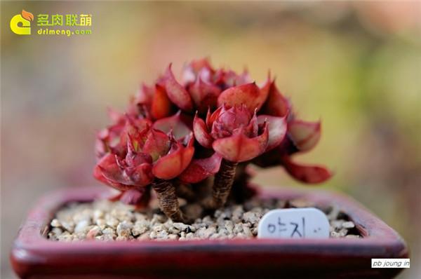 杨金、妖精 多肉植物-5