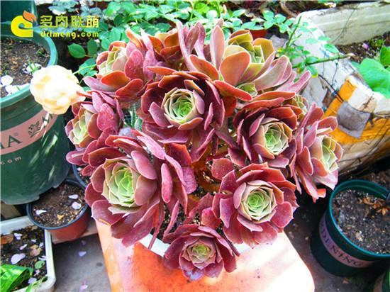 紫羊绒捧花