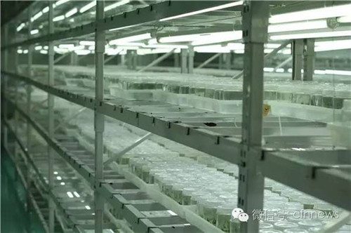 大量组培多肉在组培室内生长