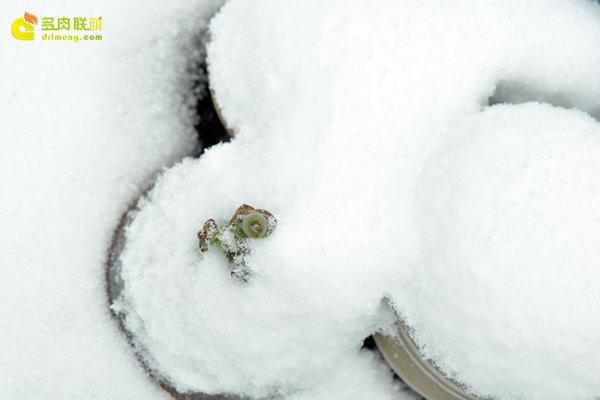 陕西西安经历冰雪的多肉植物-11