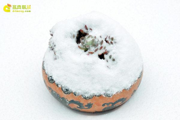 陕西西安经历冰雪的多肉植物-12