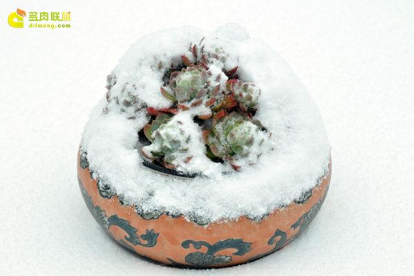 陕西西安经历冰雪的多肉植物-13