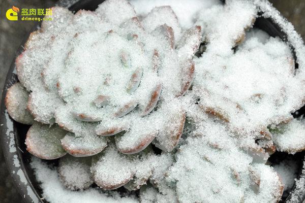陕西西安经历冰雪的多肉植物-3