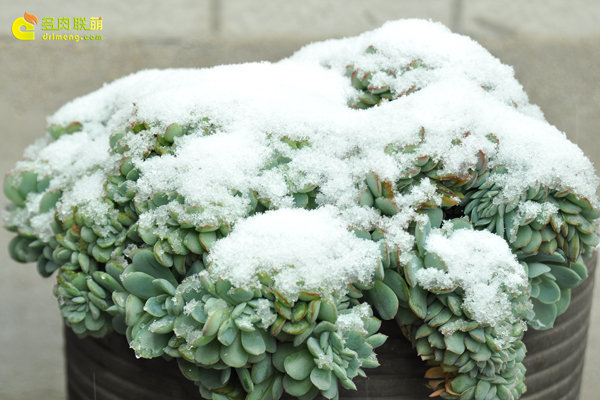 陕西西安经历冰雪的多肉植物-4