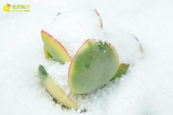 陕西西安经历冰雪的多肉植物-5