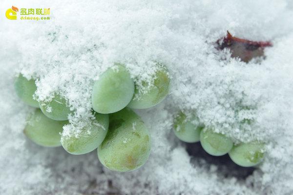 陕西西安经历冰雪的多肉植物-6