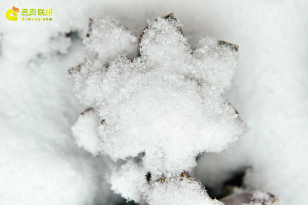 陕西西安经历冰雪的多肉植物-8