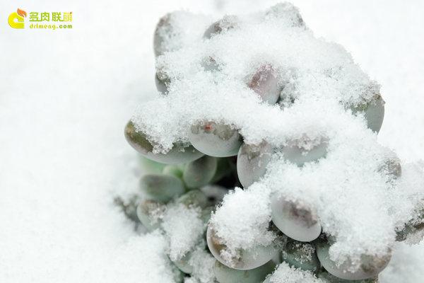 陕西西安经历冰雪的多肉植物-9