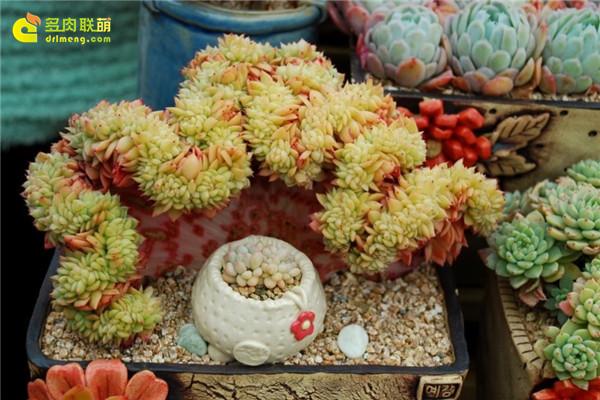 韩国多肉植物大棚--12