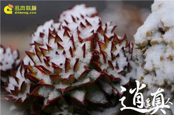 经历东北冰雪的多肉植物-11