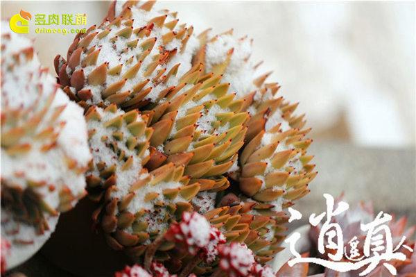 经历东北冰雪的多肉植物-13
