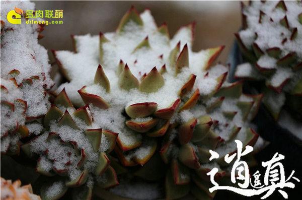 经历东北冰雪的多肉植物-15