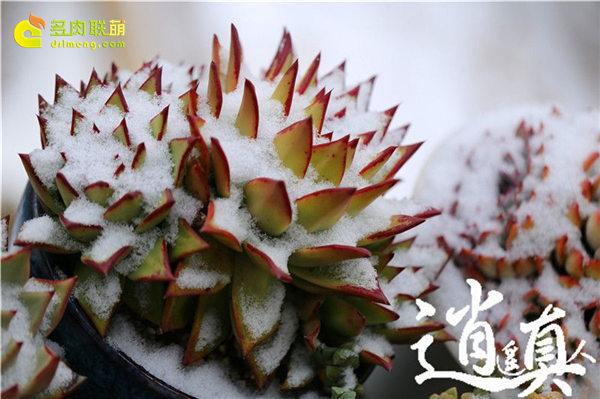 经历东北冰雪的多肉植物-17