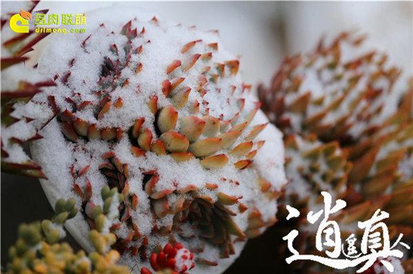 经历东北冰雪的多肉植物-18