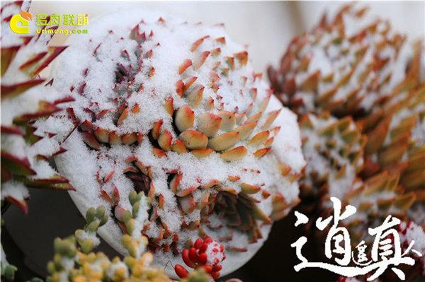 经历东北冰雪的多肉植物-2