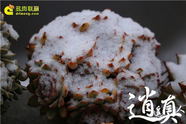 经历东北冰雪的多肉植物-3