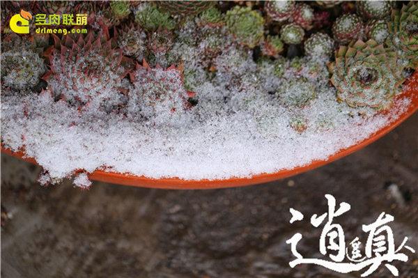 经历东北冰雪的多肉植物-31