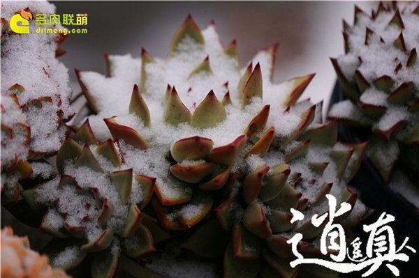 经历东北冰雪的多肉植物-4