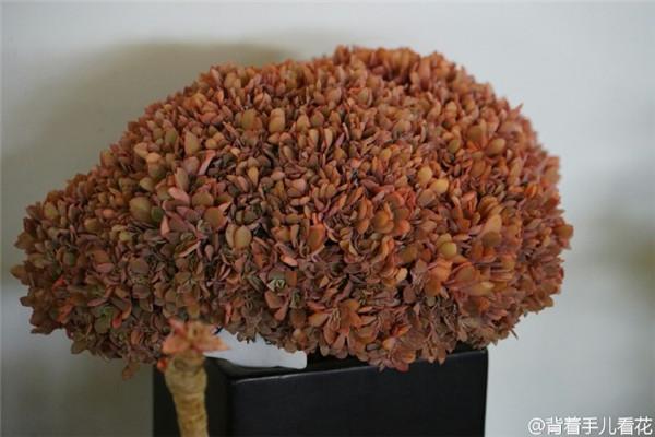 上海国际多肉展,展出的老桩群生出锦多肉-5