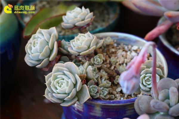 鲁氏石莲花一年变化-2