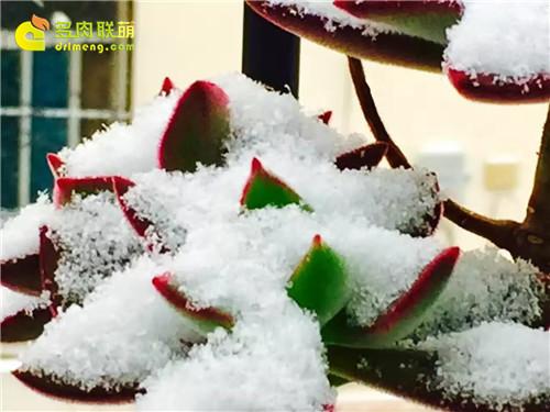 雪中的多肉-9