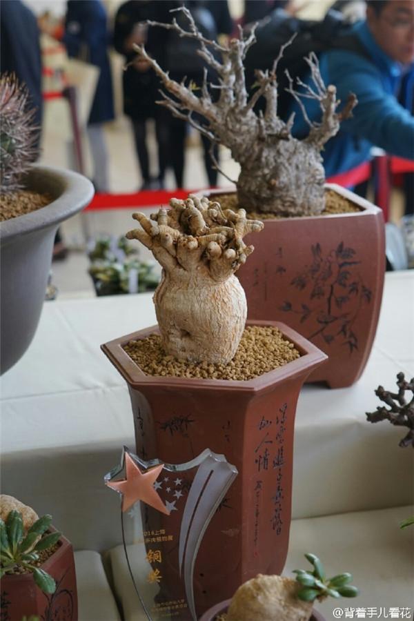 上海国际多肉展,展出的薯蓣科多肉-i1