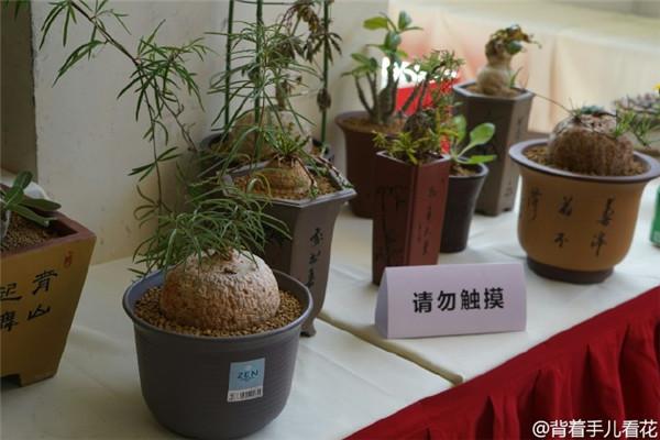 上海国际多肉展,展出的薯蓣科多肉-i2