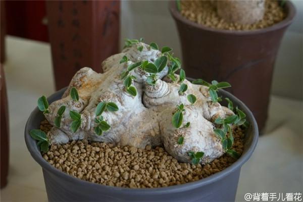上海国际多肉展,展出的薯蓣科多肉-i4