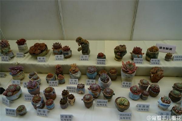 上海国际多肉展展出的多肉-10