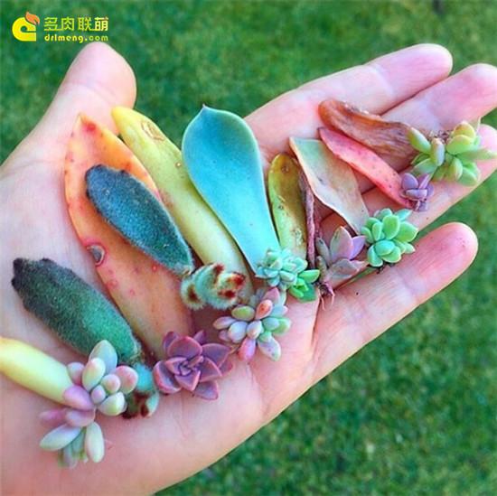 叶插苗是迷你多肉拼盘的素材-6
