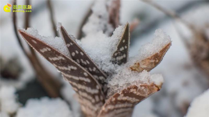 大雪中的多肉植物