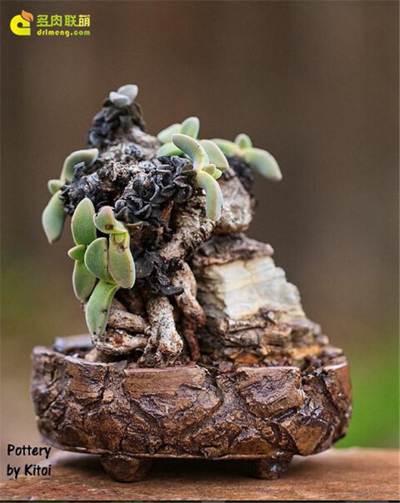 艺术般的块根多肉盆景 aloinopsis-peersii
