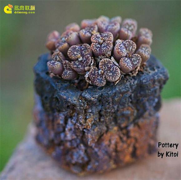 艺术般的块根多肉盆景 conophytum-pullucidum-v-neohallii