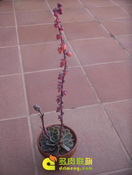 尺素 Echeveria chazaroi 开花