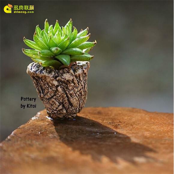 艺术般的块根多肉盆景 haworthia-reticulata-var-subregularis